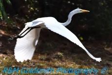 Egret Flying