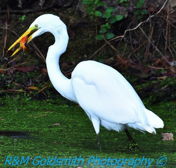Egret Goldfish