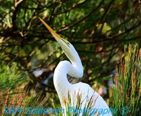 Egret in Pine