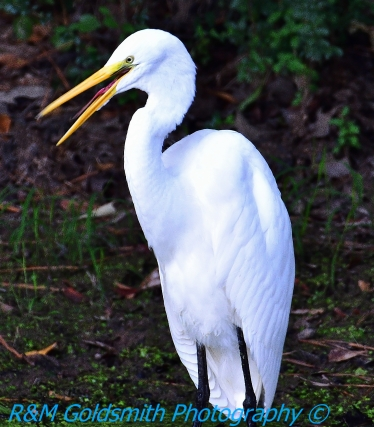 Egret Laughing