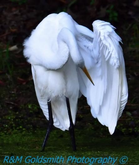 Egret Under Wing