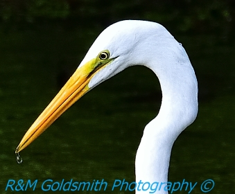 Egret Water drop