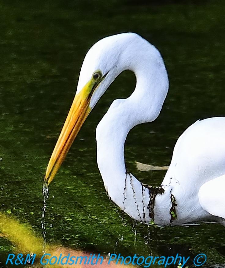 Egret Water Drops