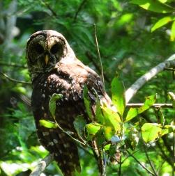 Reelfoot Barred Owl_001
