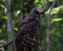 Reelfoot Barred Owl_002