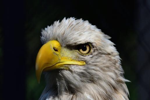 Reelfoot Eagle Close_002
