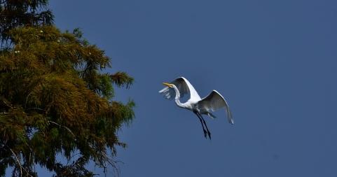 Reelfoot Egret Landing_001