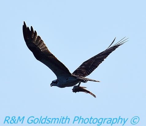 Reelfoot Osprey 1
