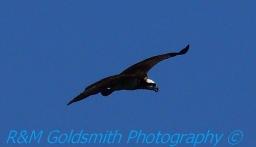 Reelfoot Osprey 2