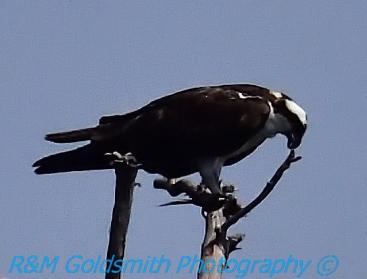 Reelfoot Osprey 5