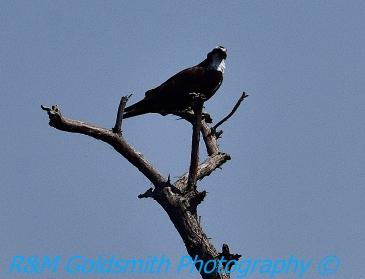 Reelfoot Osprey 6