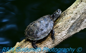 Reelfoot Turtle 1