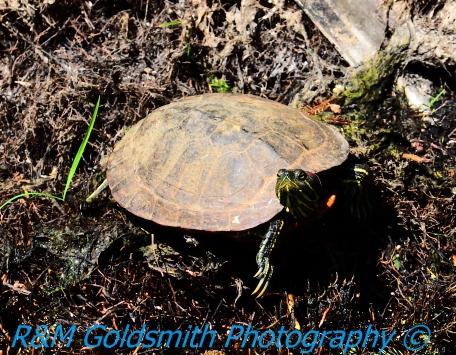 Reelfoot Turtle 3