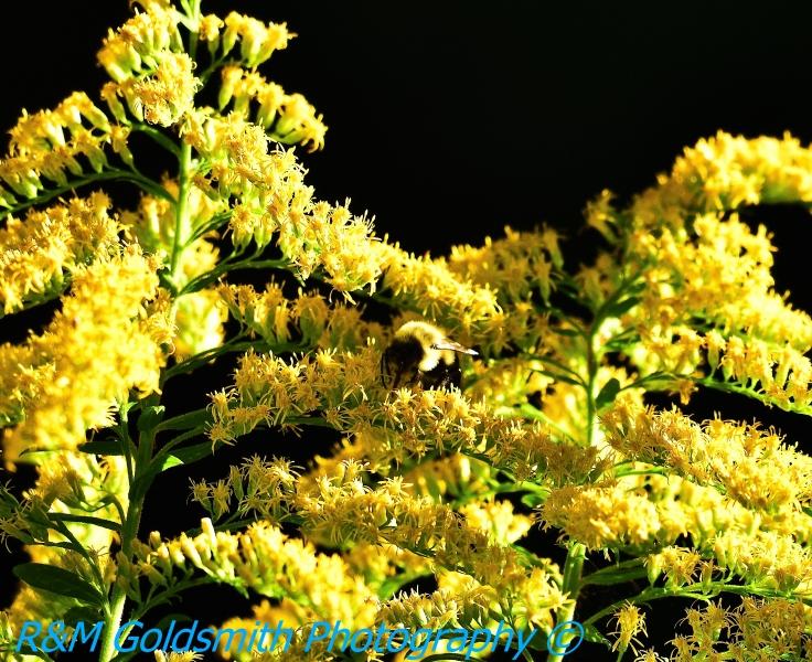 Bumble Bee 2 Backyard_1