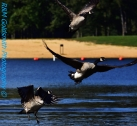 Canadian Geese_1