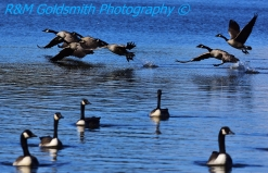 Canadian Geese_1_1