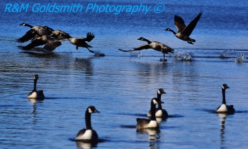 Canadian Geese_1_2