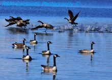 Canadian Geese_2_1