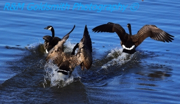 Canadian Geese_3