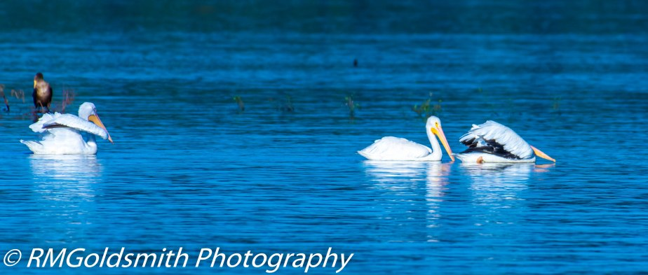 3 Hour Photo Trip – Sardis Lake Birds