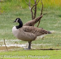 Canadian Geese 4