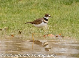 Killdeer1